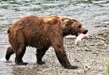 Brown Bear Iwith A Salmon