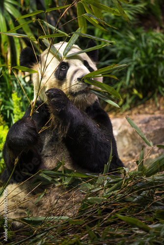 Fényképezés Cute panda