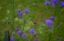 Mariposa Violeta Verbena