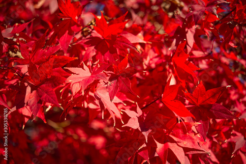 A closeup of a red bloodwood Japanese maple tree.