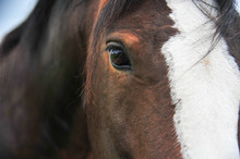 Portrait Close Up Of A Clydesd...