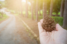 Pine Cones In Hand With Pine Tree