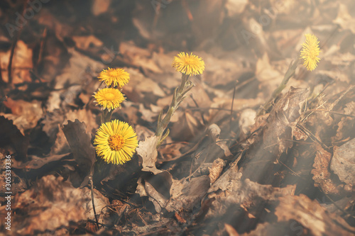 Vászonkép Early spring flowers of coltsfoot made their way through a bed of dry leaves