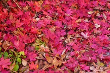Autumn Leaves Background, Red Maple Leaves Fall On The Ground In Autumn Season, Festival Concept.