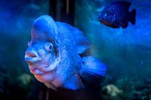 Unusual Flower Horn Fish Macro In A Blue Toning