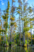 Full View Of Cypress Trees Com...