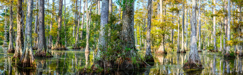 panoramic photo of bald cypress swamp Canvas Print