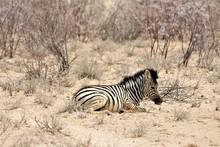 Baby Zebra Lying Alone In The ...