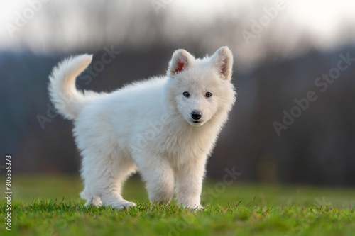 Puppy cute White Swiss Shepherd dog portrait on meadow Canvas Print
