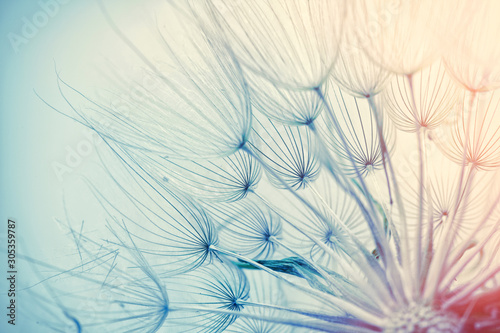Dandelion seeds beautiful photo. Close up image.