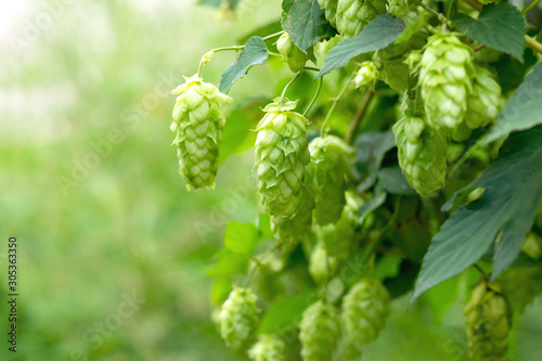 Green hop cones for beer and bread production, closeup Wallpaper Mural