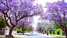 Beautiful Purple Flower Jacaranda Tree Lined Street In Full Bloom. Taken In Allinga Street, Glenside, Adelaide, South Australia.