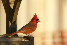 Beautiful Male Northern Cardinal On The Feeder