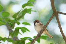 Eurasian Tree Sparrow On Branch
