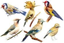 Set Of Birds On Isolated White Background, Goldfinches, Hoopoe, Waxwings, Watercolor Illustration