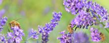 Honeybee On Lavender Flowers On Green Background