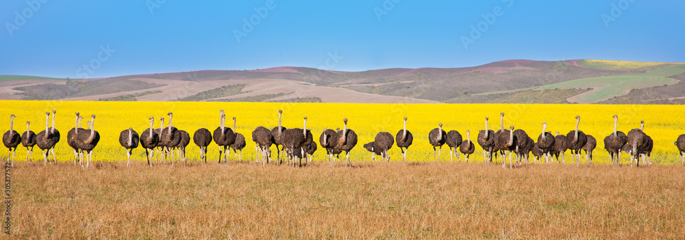Fototapeta Panoramic of ostriches with canola field backdrop, South Africa