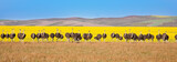 Panoramic of ostriches with canola field backdrop, South Africa