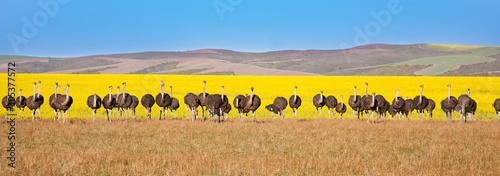 Panoramiczny strusi z canola pola tłem, Południowa Afryka