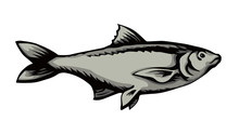 Big Sea Fish. Vector Drawing