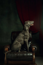 Studio Shot Of Weimaraner Dog Like A Medieval Aristocrat. Confident And Proud Pet On Armchair Like Prince Or King In His Kingdom. Like A Familiar Portrait. Concept Of Comparison Of Eras, Pets Love.
