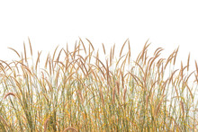 Reeds Of Grass Isolated And Wh...