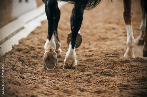 Fotografering  The shod, graceful legs of a black horse running alongside another horse in a sandy arena in a dressage competition