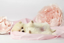 Beautiful Pomeranian Spitz Puppy On A White And Pink Background