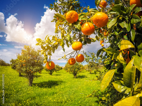 the orange garden
