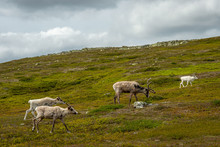 Group Of Reindeers Walking Up A Mountainside In Northern Sweden