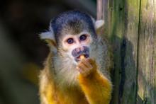 Cute Squirrel Monkey In Japan