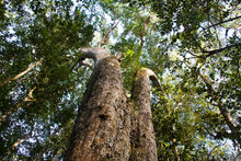 Oteniqua Yellowwood Tree Knsyn...
