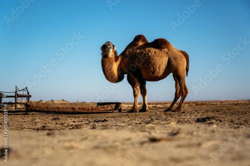 Spoed Fotobehang Kameel Adult two-humped camel on farm in steppe against blue sky, Kazakhstan
