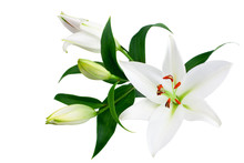 White Lily Flowers And Buds Wi...