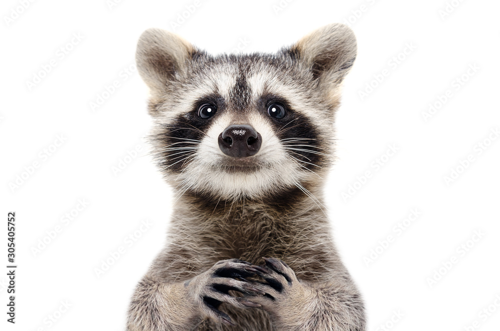 Fototapeta Portrait of a cute funny raccoon, closeup, isolated on a white background
