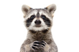 Fototapeta Zwierzęta - Portrait of a cute funny raccoon, closeup, isolated on a white background