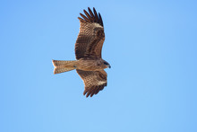 Japanese Black Kite In Flight