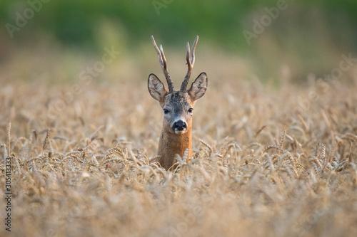 Photo Roebuck - buck (Capreolus capreolus) Roe deer - goat