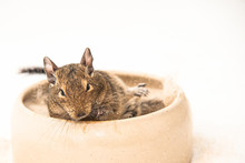 Degu Playing In Sand Bowl Before White Background