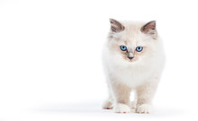Ragdoll Cat, Small Kitten Portrait. White Background