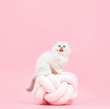 Ragdoll cat, small cute kitten sticking tongue out. Funny portrait