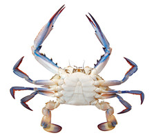 Blue Crab, Atlantic Blue Crab Or Chesapeake Blue Crab (Callinectes Sapidus) Isolated On A White Background. Ventral View