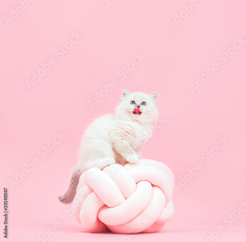 Spoed Foto op Canvas Europa Ragdoll cat, small cute kitten sticking tongue out. Funny portrait