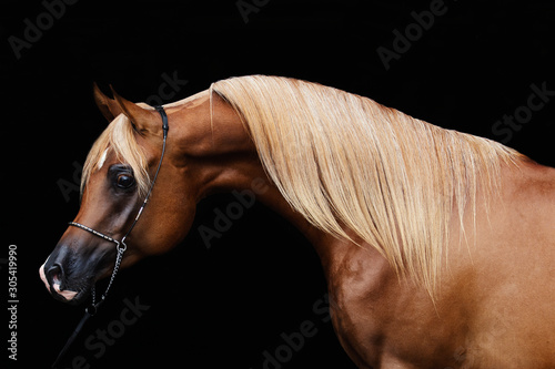 Cuadros en Lienzo  portrait of a horse isolated on black background