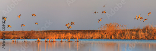 Photo ducks sit on a lake in the morning during migration