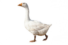 Goose Isolated On White Backgr...
