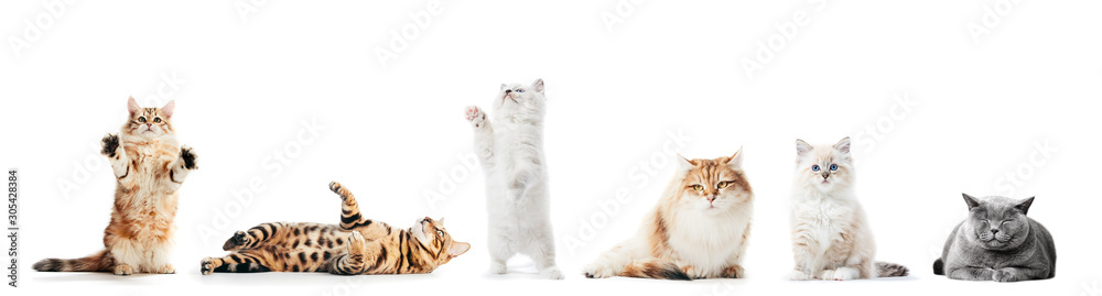 Fototapeta Collection of purebred cats isolated on white