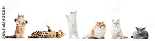 Photographie Collection of purebred cats isolated on white