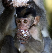 Baby Macaque Monkey Eating A R...