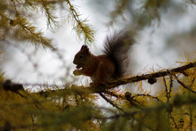 Squirrel Nibbles A Cone On A Larch Branch